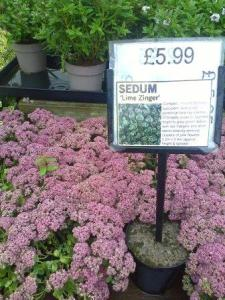 sedum for sale