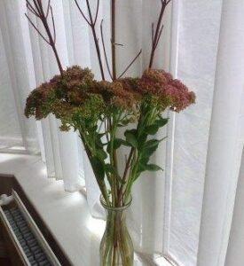 sedum in vase