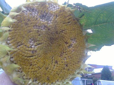 sunflower head seeds