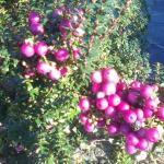 prycantha berries