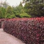 copper beech hedge