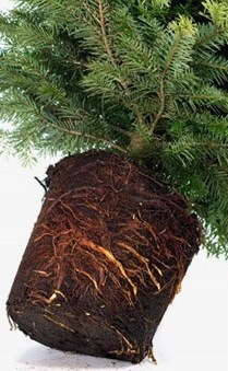 No shredded roots indicates a pot grown tree. Notice the nicely spaced root ball.