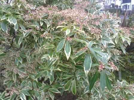 pieris-japonica-verigated