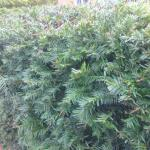 lovely yew hedge