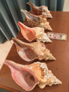 The Fab Five Horse Conchs