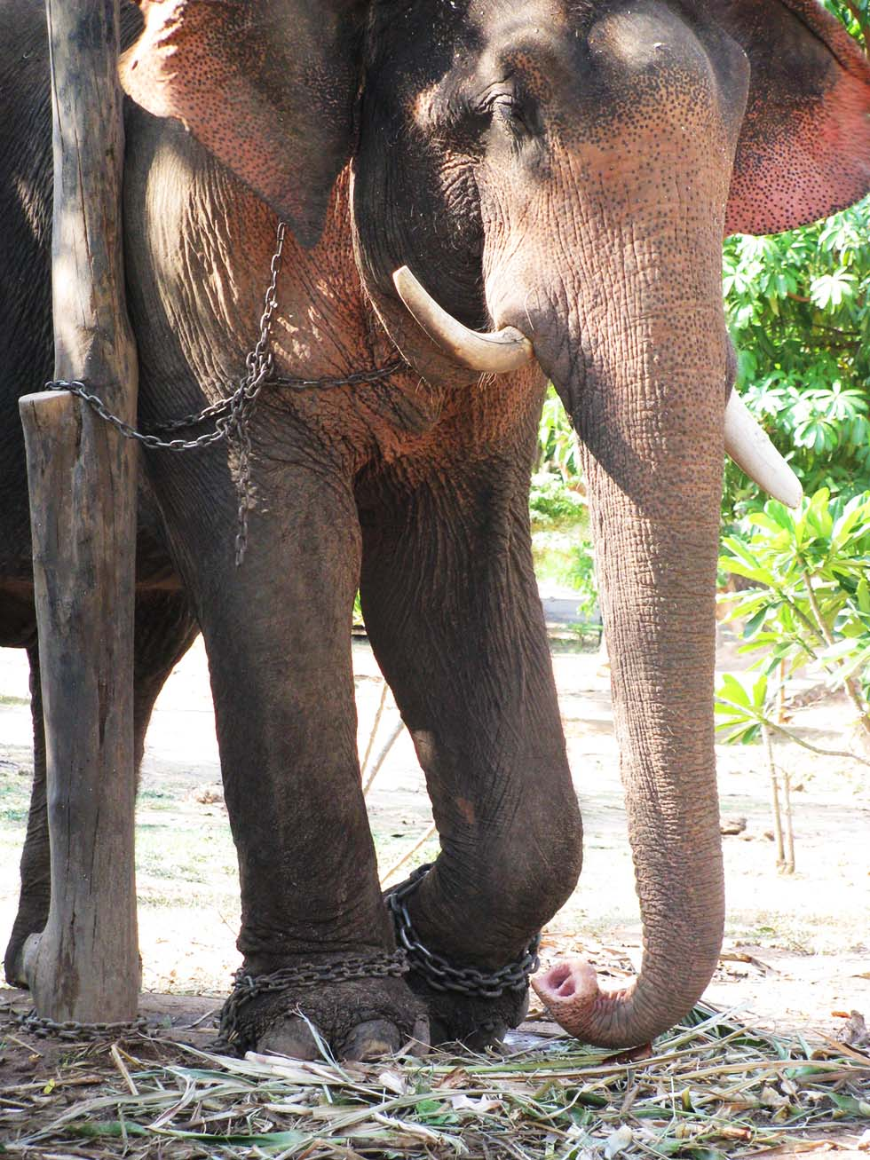 Chained Elephants in a bbad camp