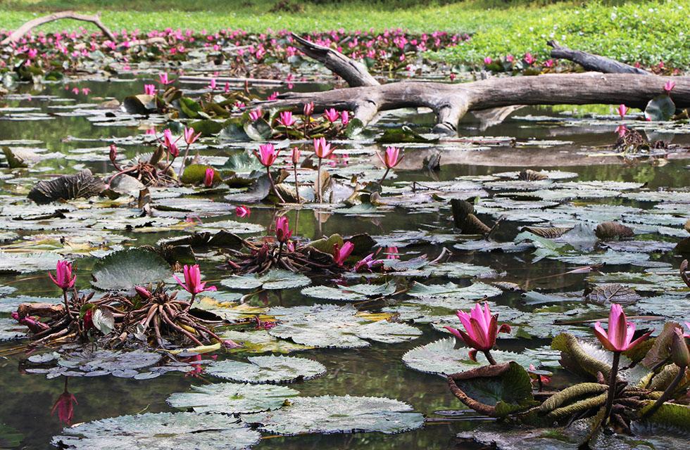 Lotus flowers on the lake of Surin