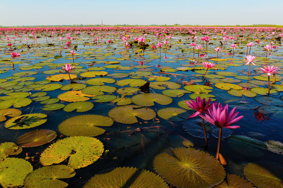 Lotus flowers at Lake Nong Han