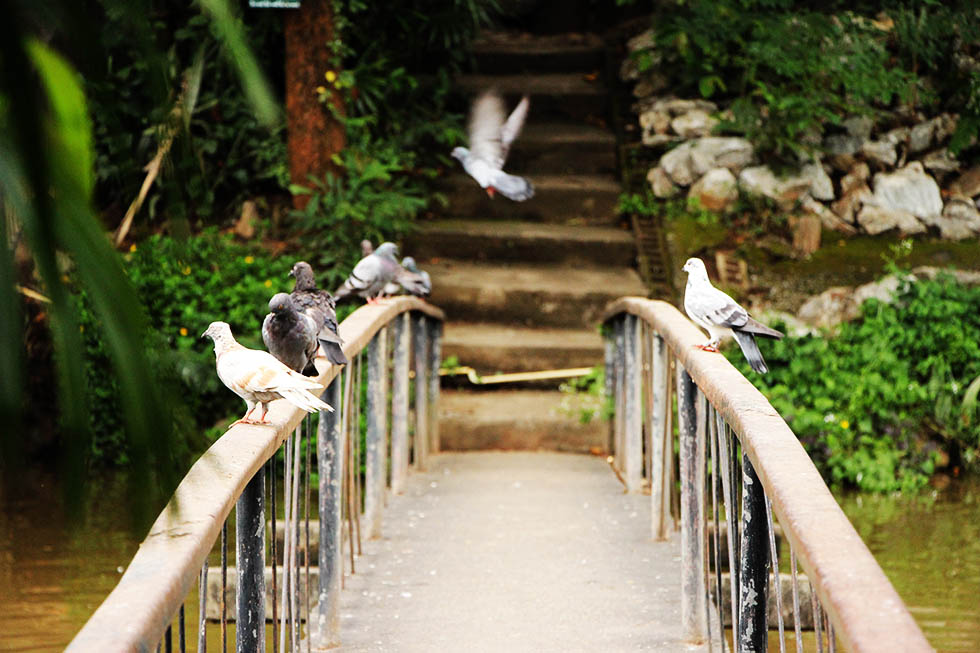 Pidgeons at the Wat Umong temple in Chiang Mai