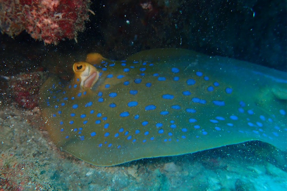 Blue Spotted Stingray - Diving in Koh Tao