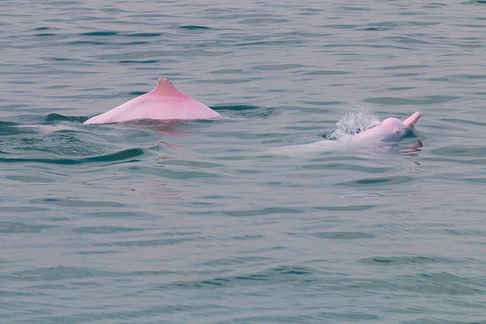 We spotted a couple of pink dolphins in Khanom