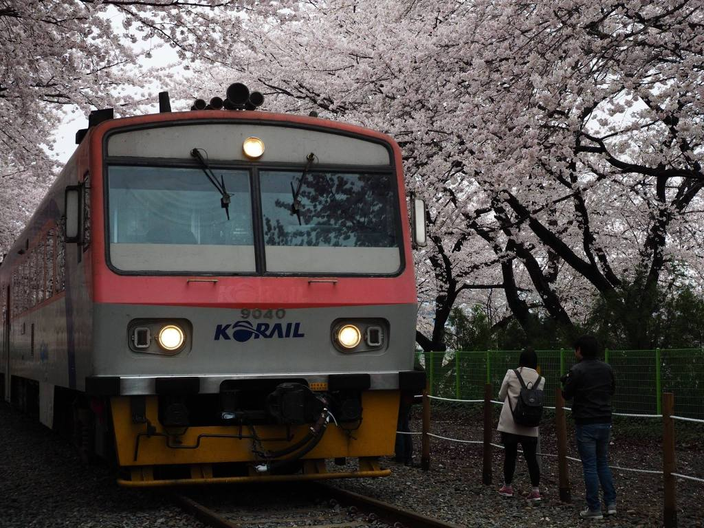 Train underneath Cherry Blossoms at Gyeonghwa Station in Jinhae