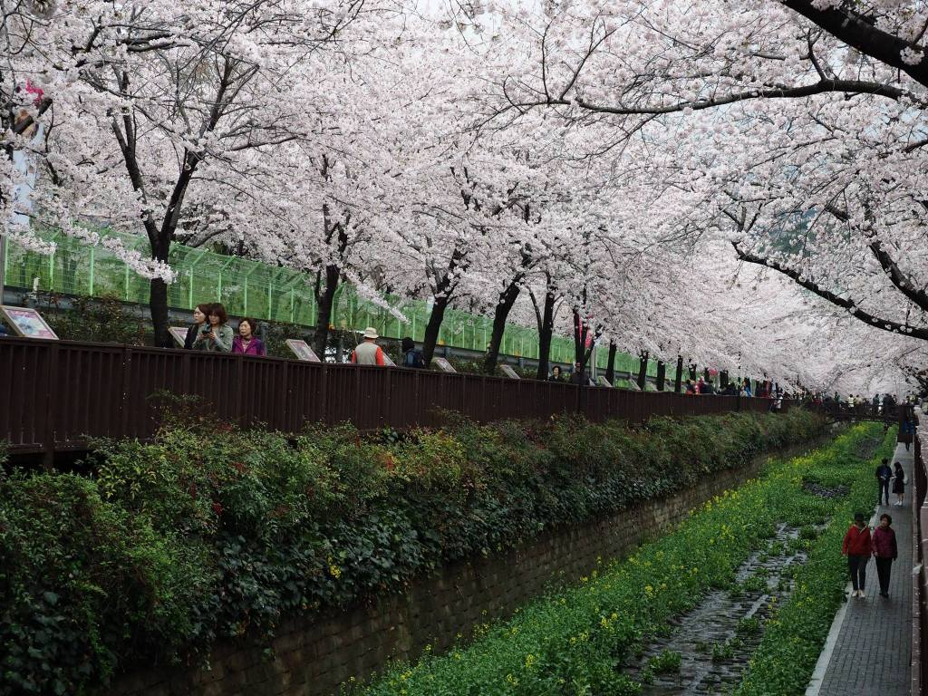 Walking along the stream with Cherry Blossoms in Jinhae.