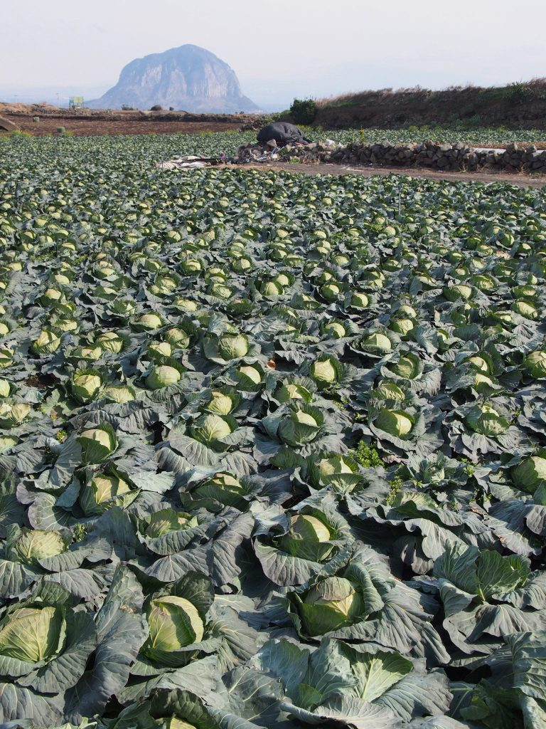 Cabbage fields on the Jeju Olle 10 Trail