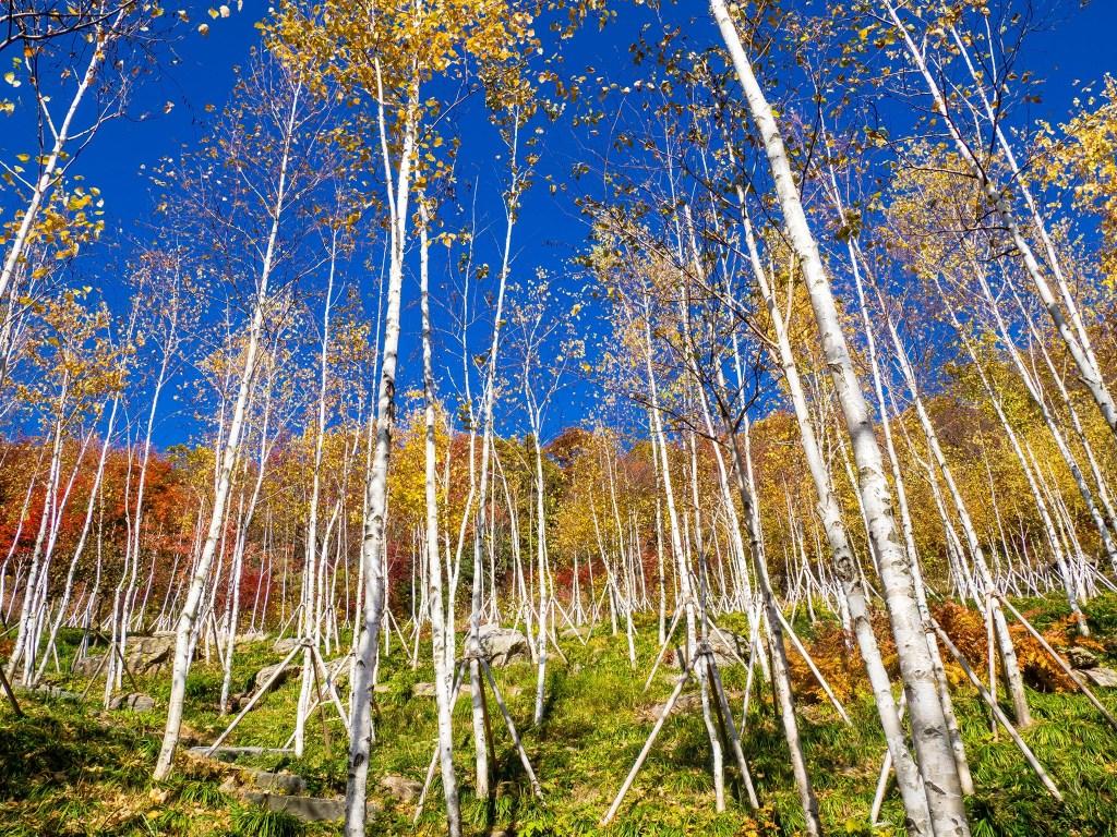 White birch trees at Hwadamsup