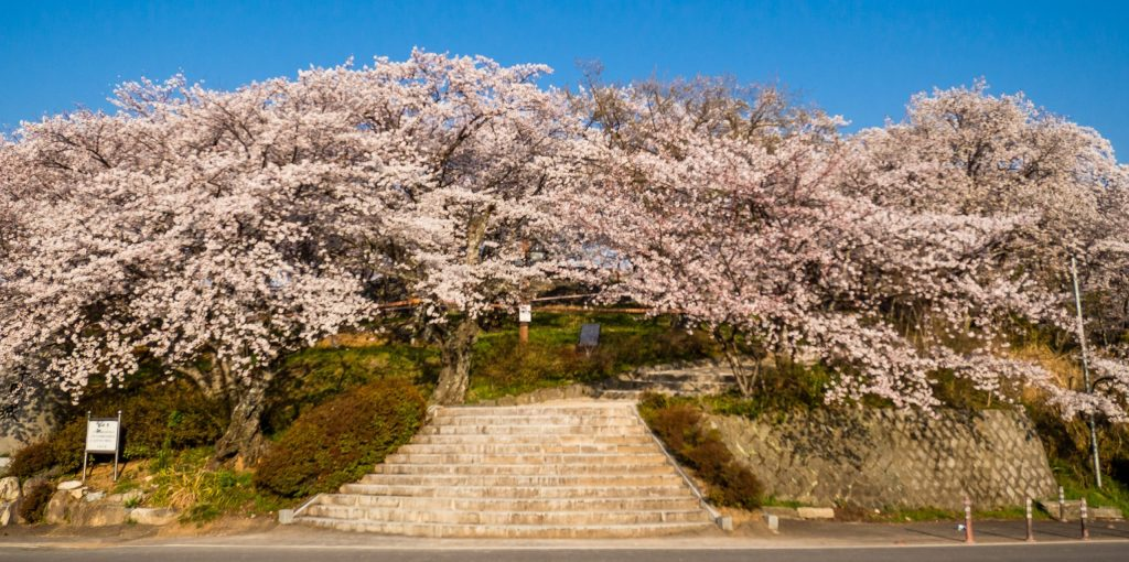 Cherry Blossoms in Sacheon