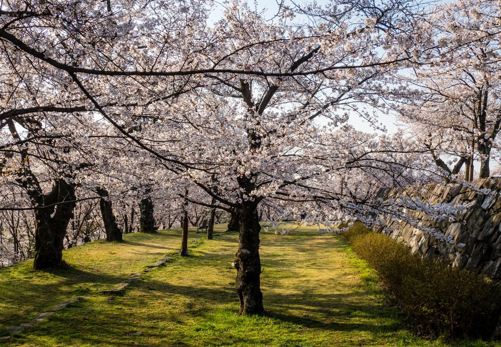 Beautiful Cherry Blossoms in Seonjin Park, Sacheon