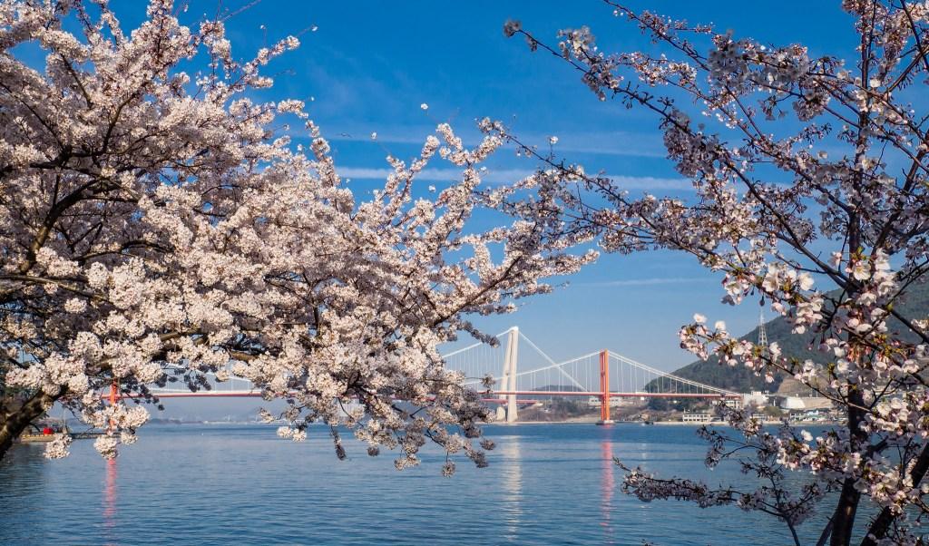 Cherry Blossoms near Wangi Village on Namhae Island