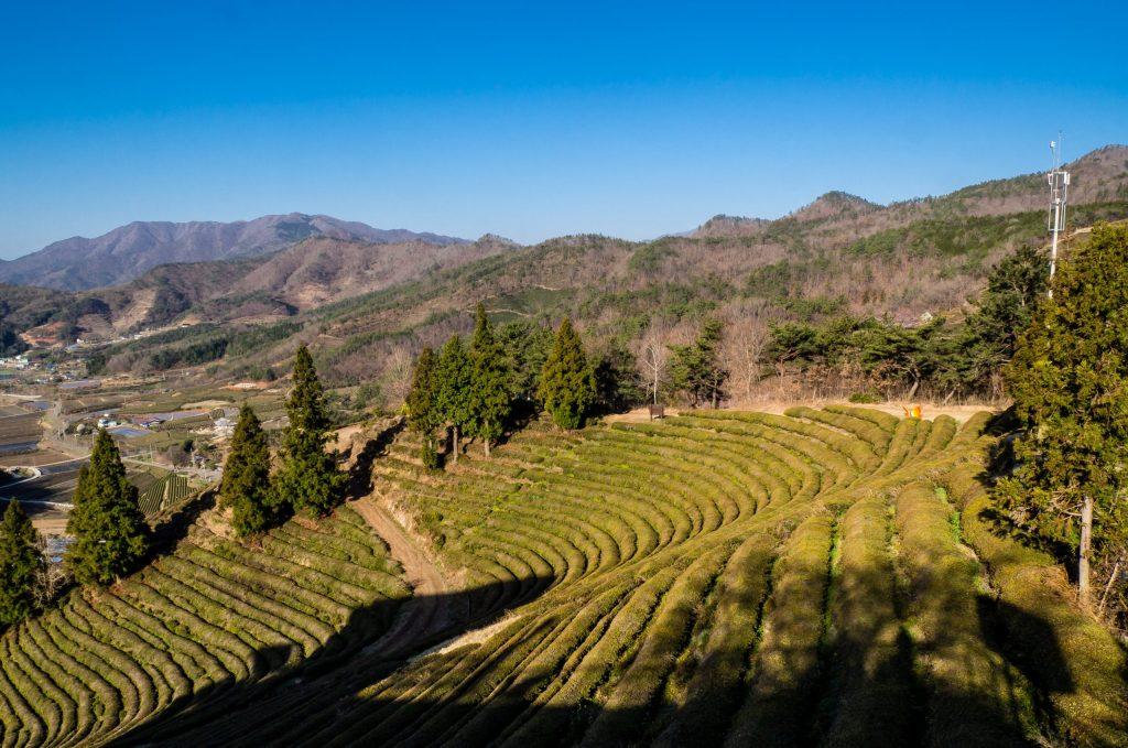 Lines of Green Tea