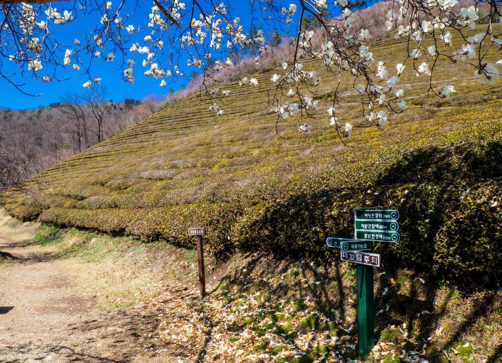 Green Tea Field, Boseong