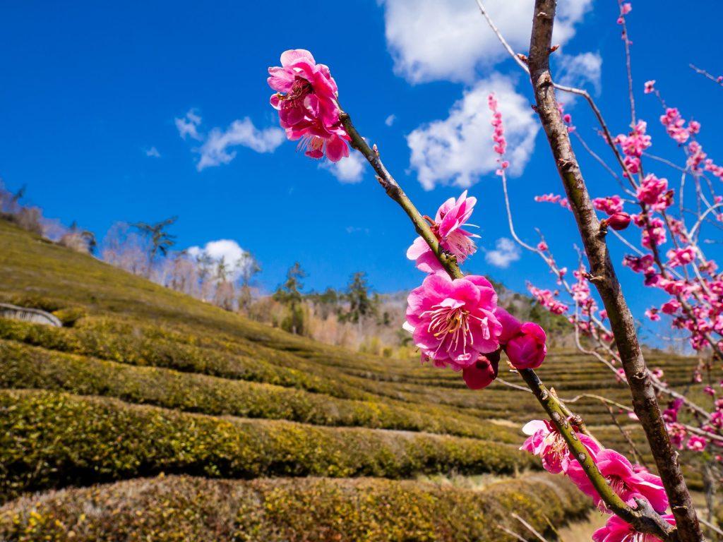 Spring Colors at Daehan Dawon Green Tea Field
