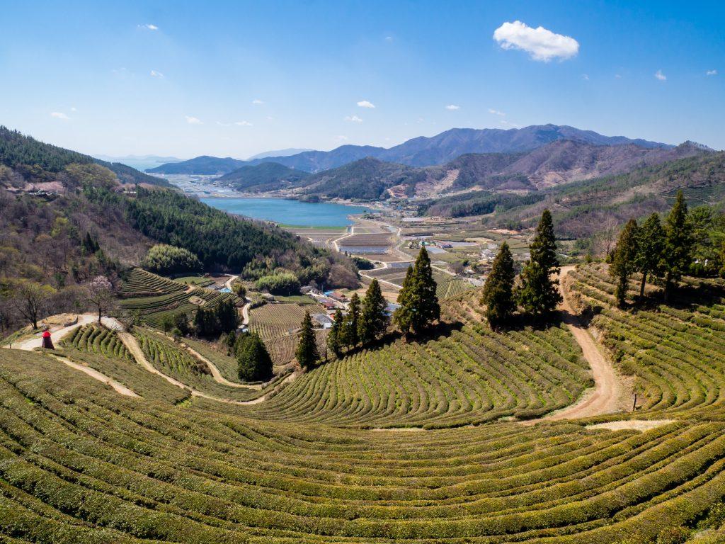 Beautiful Green Tea Fields