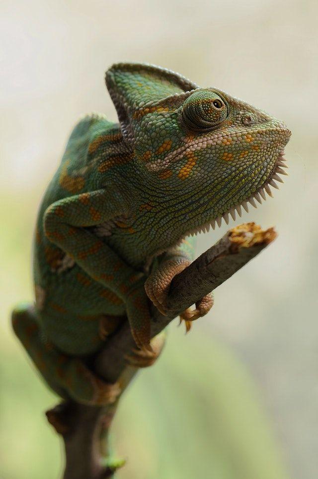 chameleon macro shot
