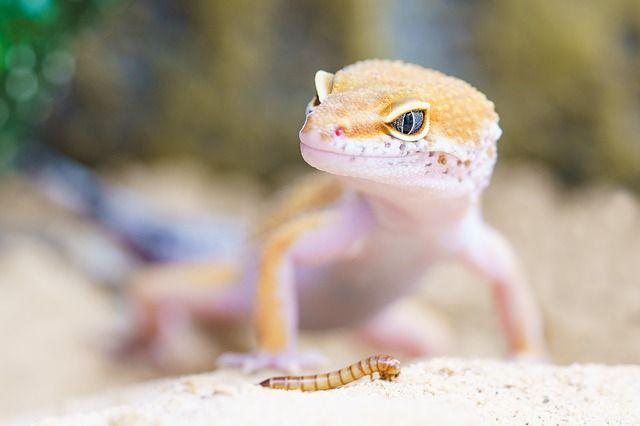 gecko macro picture