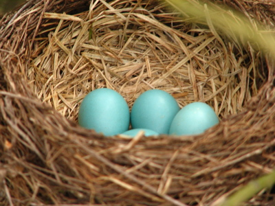 Nest with robin eggs