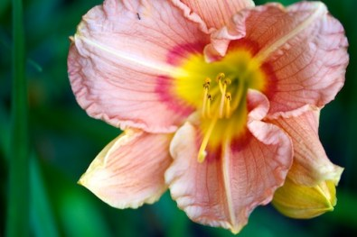 Peach day lily