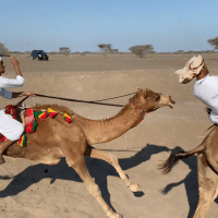 Traditional camel racing in Oman