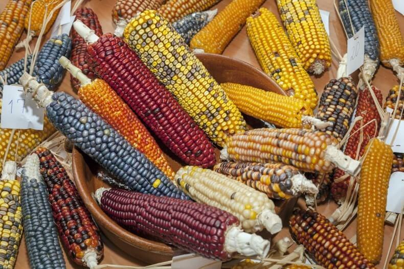 tipos de milho para pipoca