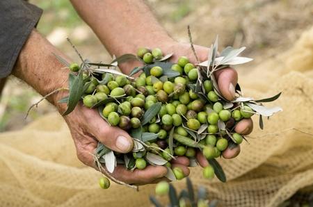 今年の収穫は10月15日からはじまりました。