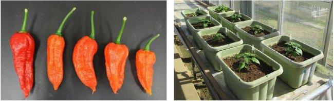 味の素㈱とJA、川崎市が初めての3者連携の栽培実証・共同研究を実施!川崎生まれ、川崎育ちのハーブペッパー『香辛子(こうがらし)』が誕生!
