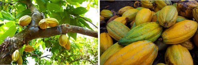 実は、フルーツであるカカオ