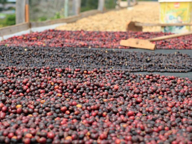 天日乾燥されるコーヒーチェリー