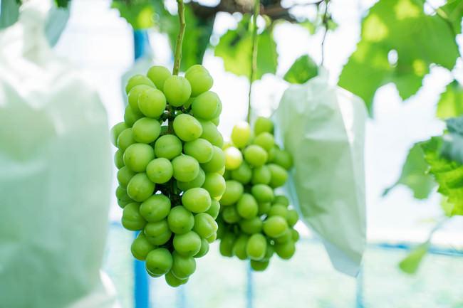 7月初旬まだ粒の小さい、竹村ぶどう園のシャインマスカット。2020年は8月下旬から収穫が始まる(2020年7月2日撮影@中山雄太)