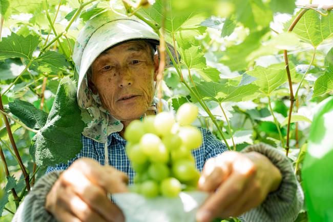 宮崎県新富町の隠れ里にある竹村ぶどう園には、遠方からわざわざ足を運び買い求めるファンが後を絶たない(2020年7月2日撮影@中山雄太)