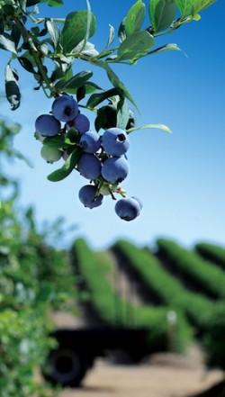 Berry-Farm