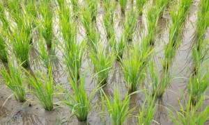 integrated-paddy-production-programme-under-rkvy-for-farmers-in-maharashtra