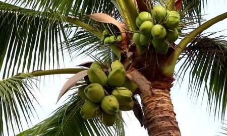Coconut Insurance Scheme in Maharashtra