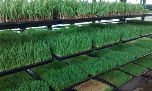 Green Fodder Production by Hydroponic Technology in Maharashtra