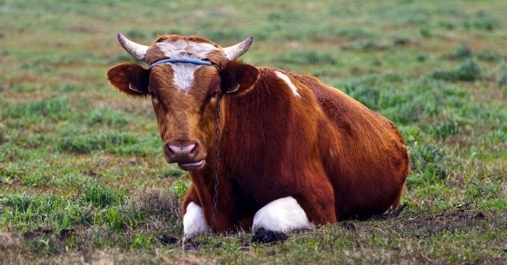 Pobegli bik Jerry postal mednarodna zvezda: Izmaknil se je klavnici