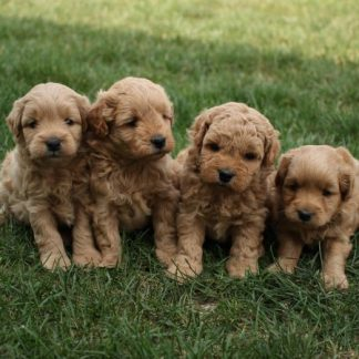 Miniature Goldendoodles
