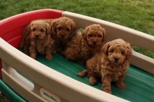 Mini Goldendoodles