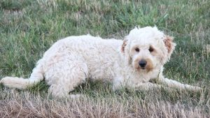 Mazy - F1b Mini Goldendoodle