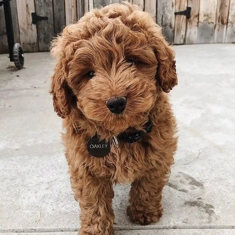 Mini Goldendoodle F1b F1bb Golden Point Puppies