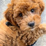 F1bb Mini Goldendoodle