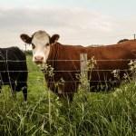 Ново Брдо: Крађа крава у Зебинцу, огласила се и Канцеларија за КиМ