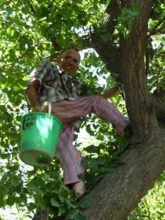 Muallim-Jon, at 63 still climbing the fruit trees to pick fruit. He has a bucket full of apricots here.